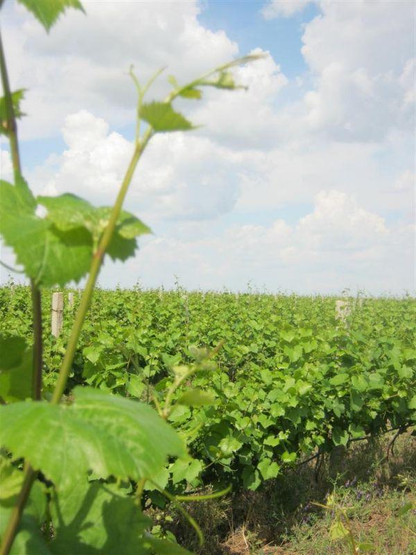 Херсонські виноградники